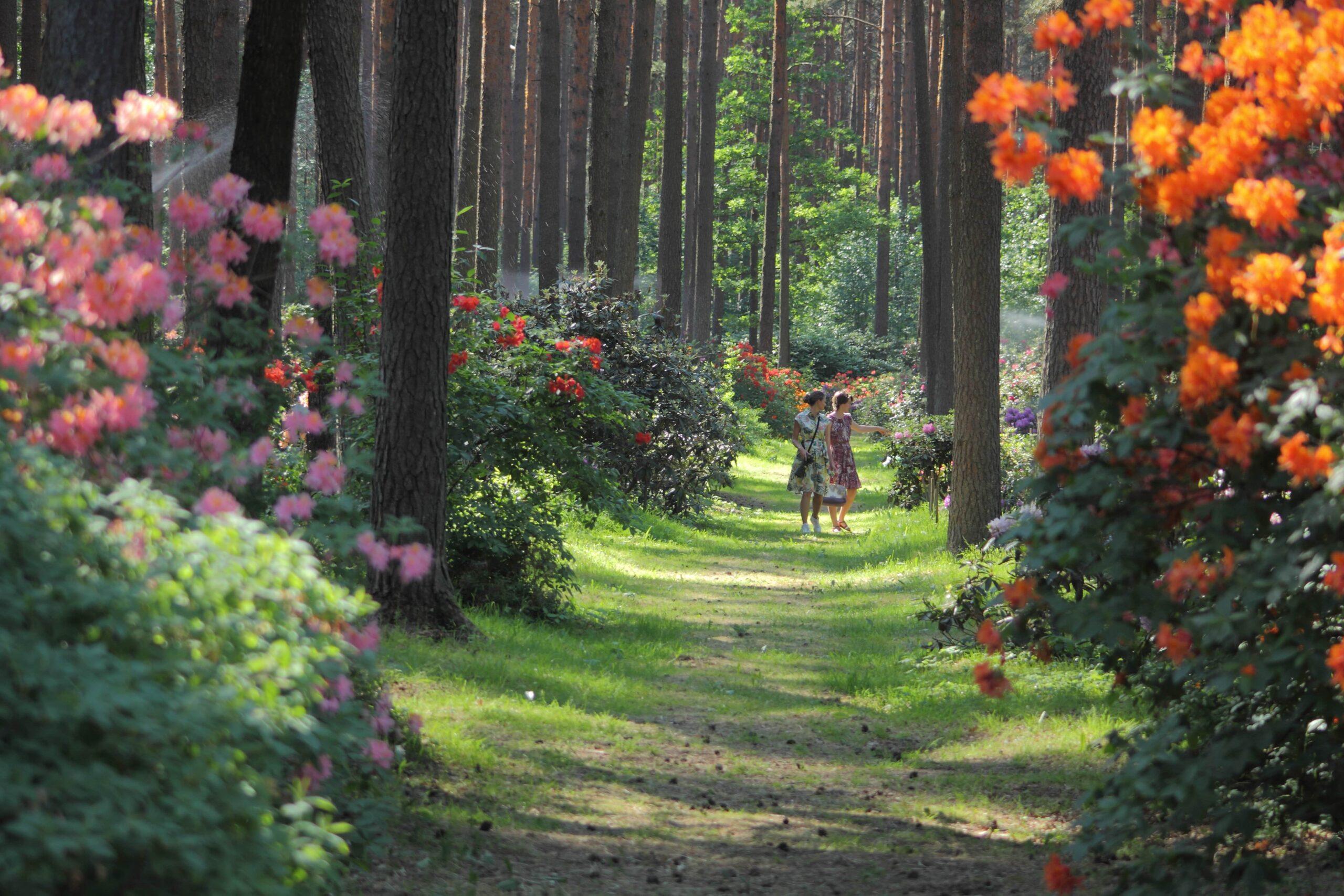 """Latvijas Universitātes Botāniskā dārza Rododendru selekcijas un  izmēģinājumu audzētava """"Babīte"""" - Garden Pearls"""