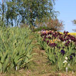 Laimonis Zaķis īrisu dārzs